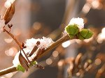 Winter vs Spring - snow on a lilac bud