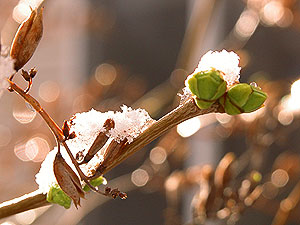Snow melting over falls seed pods and springs new buds.  Like three seasons in one lilac tree!