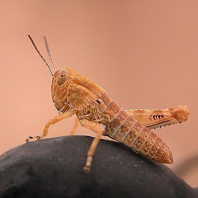 An unfortunate grasshopper