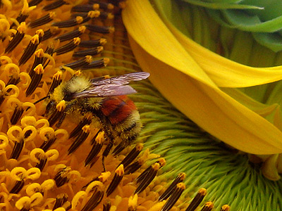 Cool orangey-red and yellow bee all pollened up..