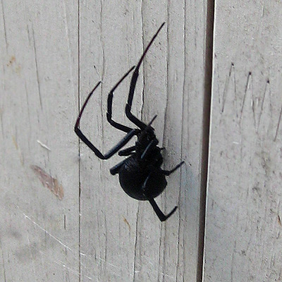 Black Widow Spider - contrary to popular belief, her red spot is on her belly, not her back.