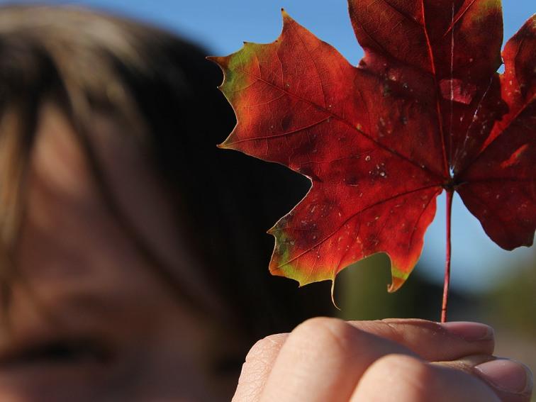boy examining a colorful fall maple leaf