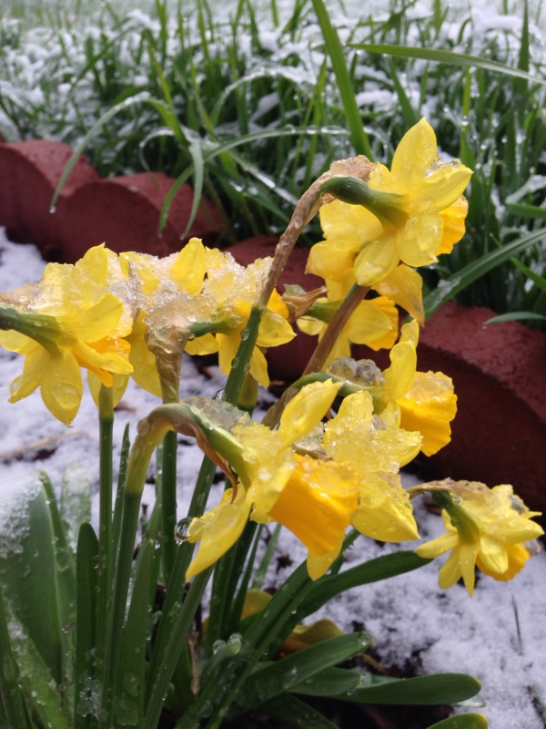 Daffodills pushing through a spring snowstorm