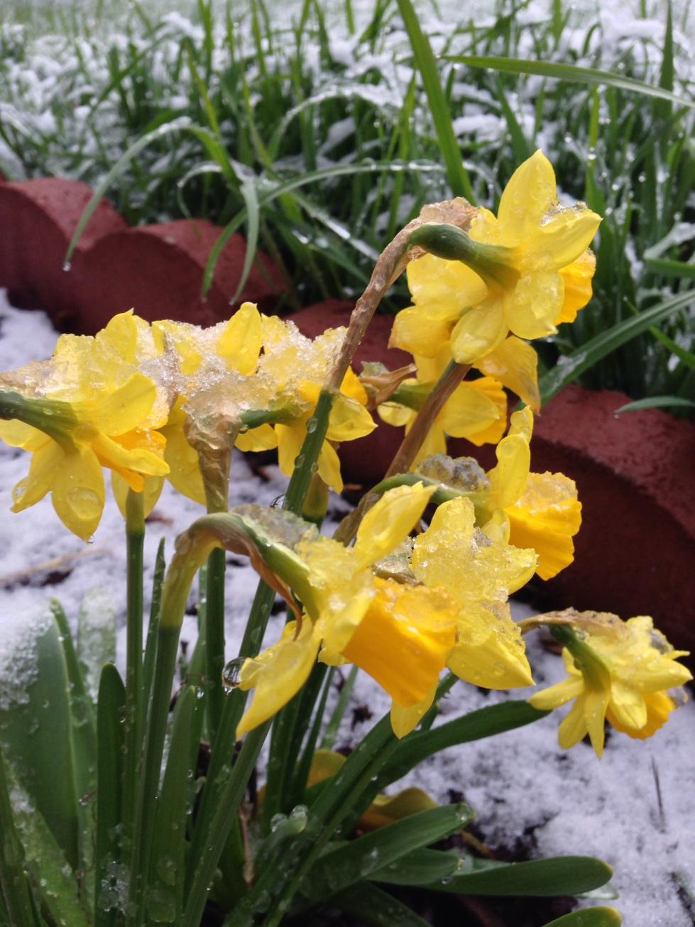 Daffodills pushing through a spring snowstorm